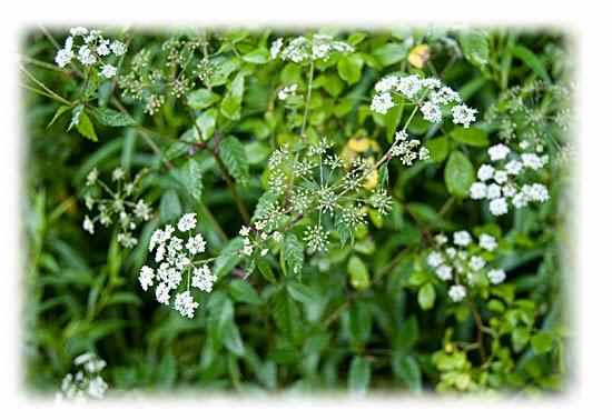 Plantas venenosas - Cicuta (Cicuta Maculata)
