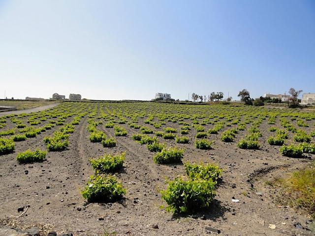 Boutari winery using bush vines