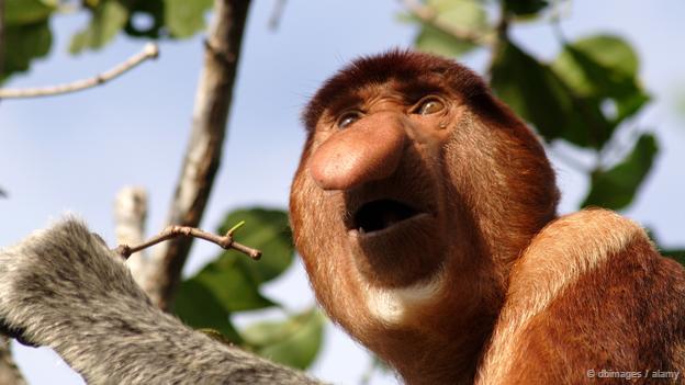 Proboscis monkey, Nasalis larvatus