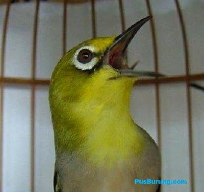 Tips Cara Mudah Membuat Burung Pleci Cepat Gacor Teler