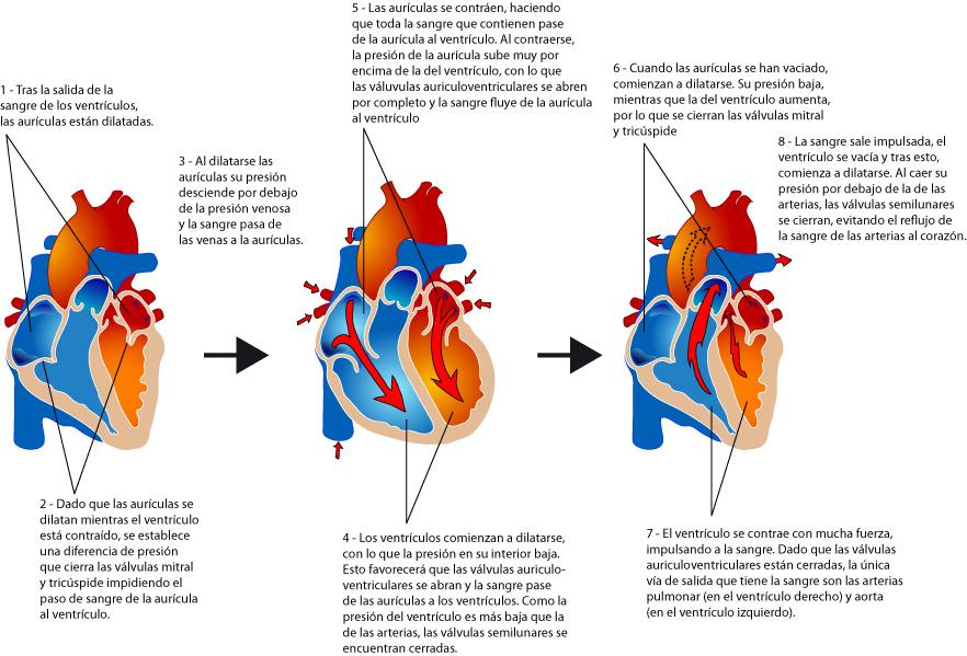 Portafolio de evidencias de Fisiología Básica: Ciclo Cardiaco