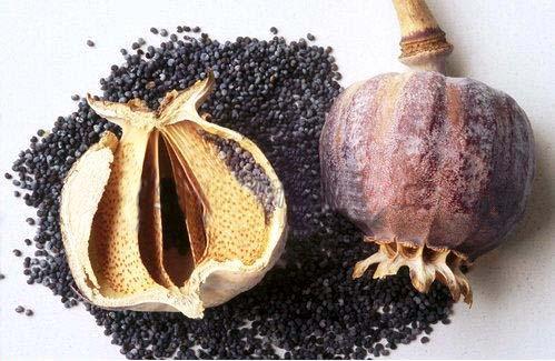 Ayurvedic gyan afim opium poppy papaver somniferum opium and the isoquinoline alkaloids morphine codeine noscapine papaverine and thebaine are isolated from mightylinksfo
