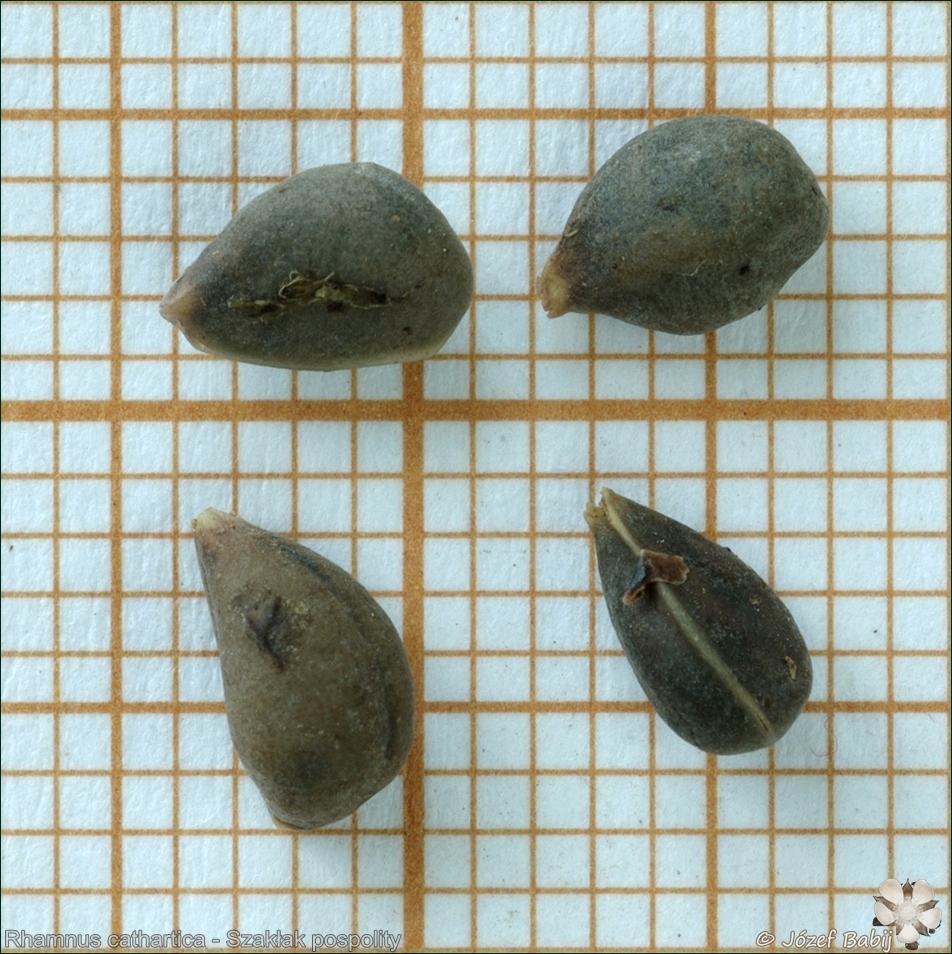 Rhamnus cathartica seeds -  Szakłak pospolity nasiona