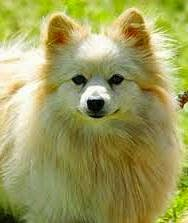 Jenis Anjing Pom