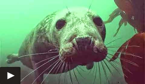 Seals are Dogs of the Sea