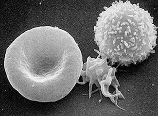 Red blood cell (left), a platelet (middle)  and a white blood cell.