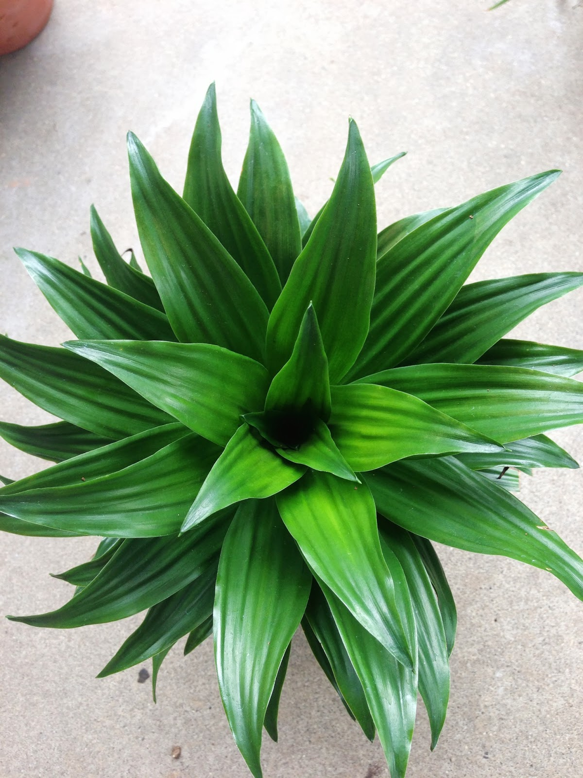 My life of plants dracaena janet craig compacta and variegated compacta - Name of house plants ...