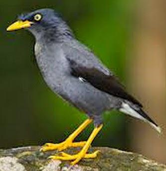 Gambar Cara Merawat Burung Jalak Kerbau