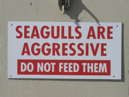 Seagulls are aggressive