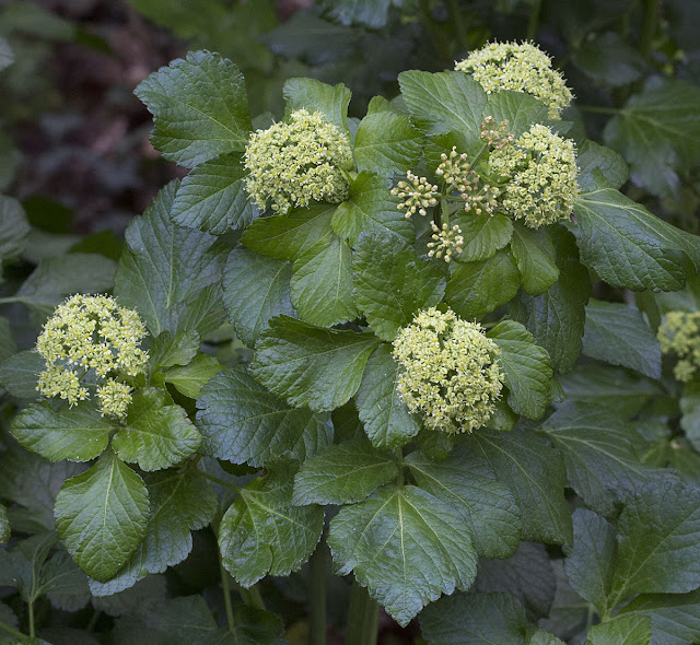 Alexanders, Smyrnium olusatrum.  Darrick Wood, 21 April 2012.