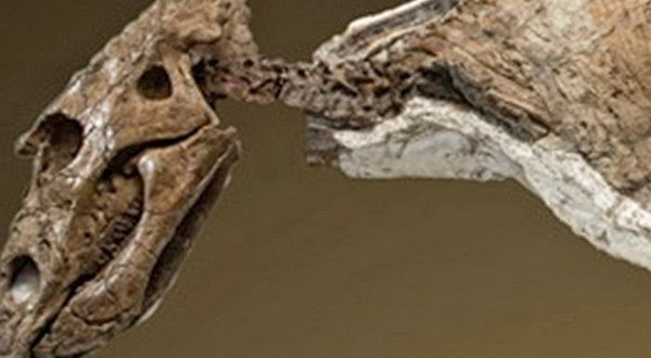 Fosil Bayi Dinosaurus Chasmosaurus Mulai Dipelajari