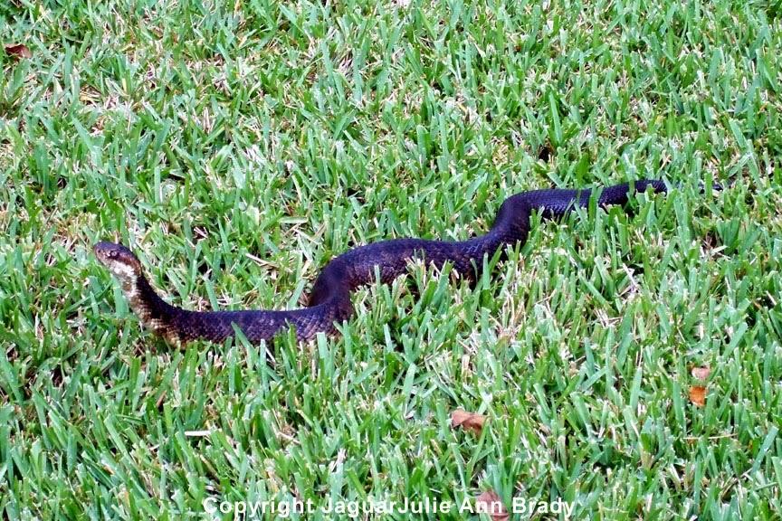 Water Moccasin Snake ~ Jacksonville Florida