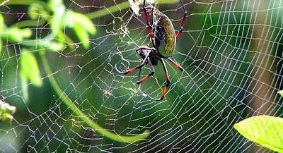 Golden Orb, Laba-laba yang Bisa Menghitung