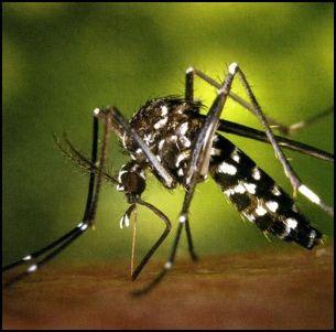 mosquito del dengue