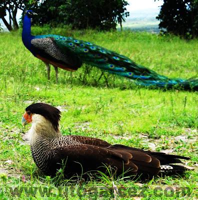 Gavião Carcará e Pavão Indiano no Parque dos Falcões, na serra de Itabaiana, em Sergipe