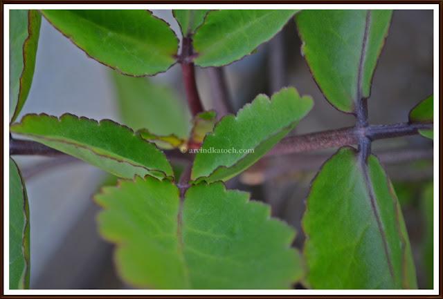 patherchat, kidneywort, leaves, leaves symmetry,