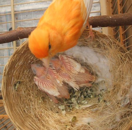 Cara Mudah Beternak Burung Kenari