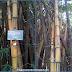 Bambu Ini Berwarna Kuning Cerah dan Memiliki Garis-garis Hijau