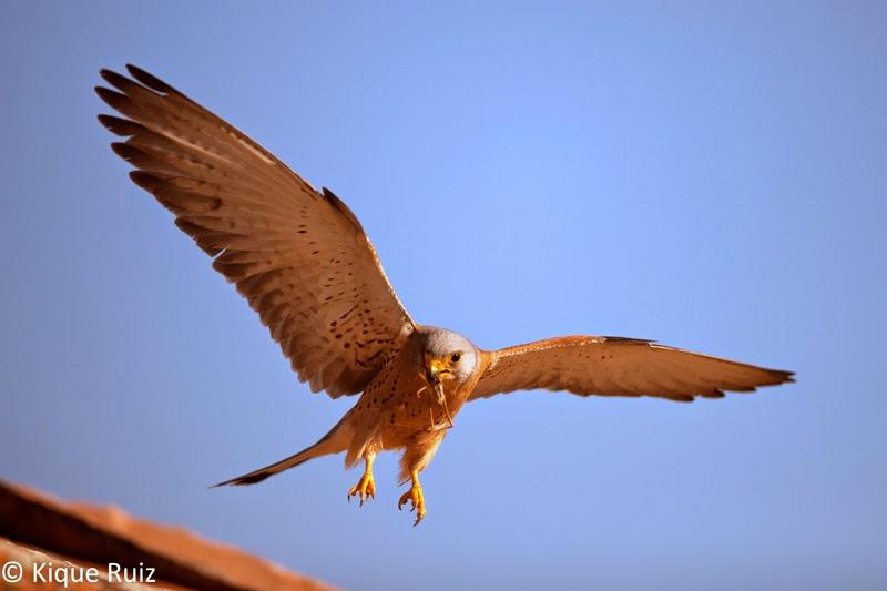 Un cernícalo primilla aterrizando en un tejado con una presa en el pico