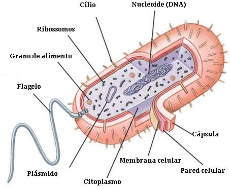 Imagen de la célula procariota indicando sus partes