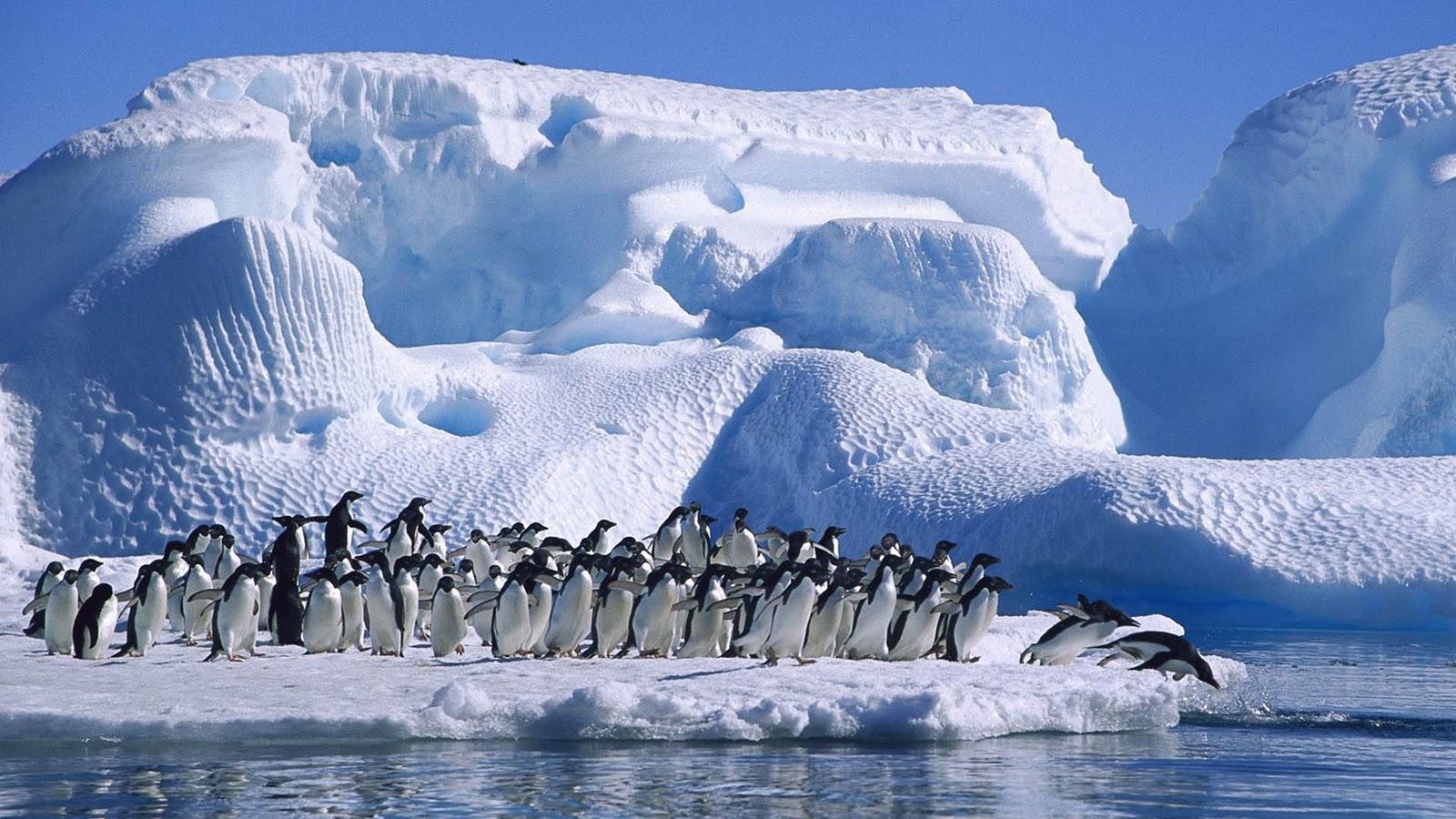 http://1.bp.blogspot.com/-ur52GH4mY7g/TvylI1hD_0I/AAAAAAAAAGQ/ZRBQxsQT33A/s1600/Animal-Penguins-HD-Wallpapers.jpg