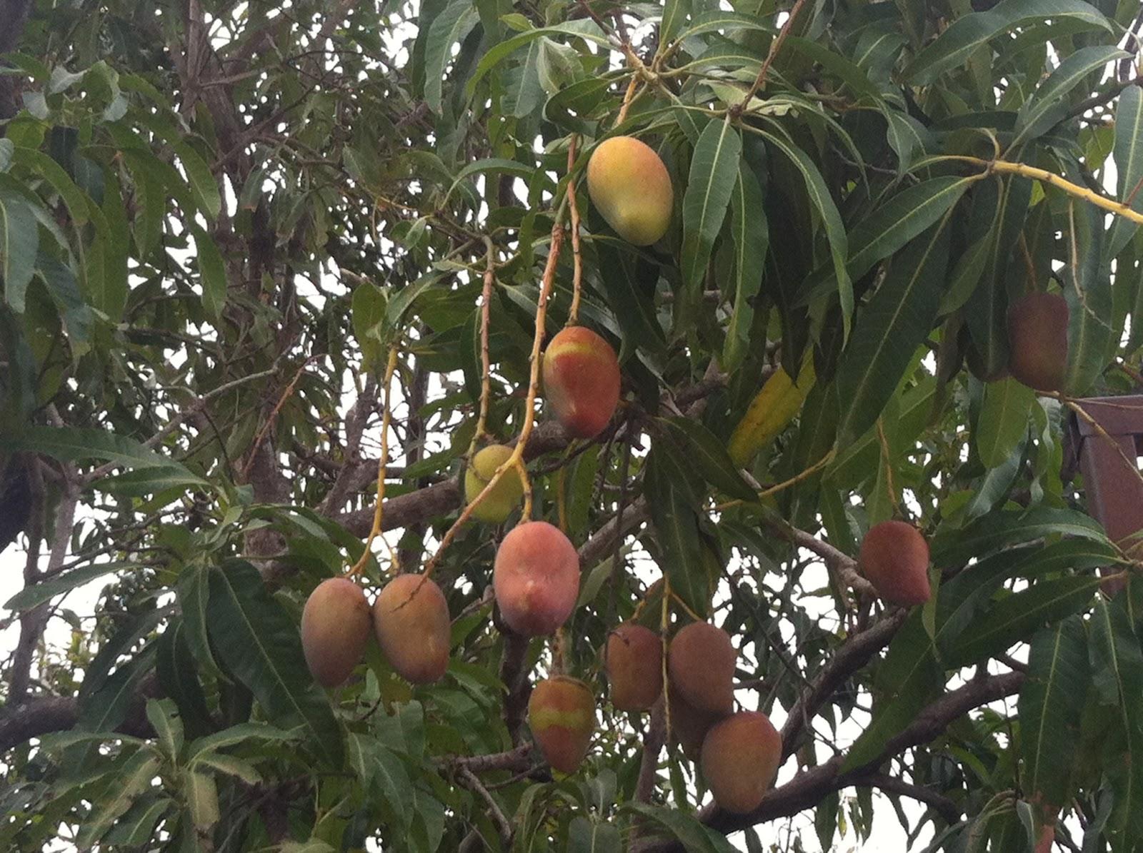Noticias en linea de tabasco el cambio climatico que afecta al mundo ocasiona que se adelanten - Cuando se plantan los arboles frutales ...