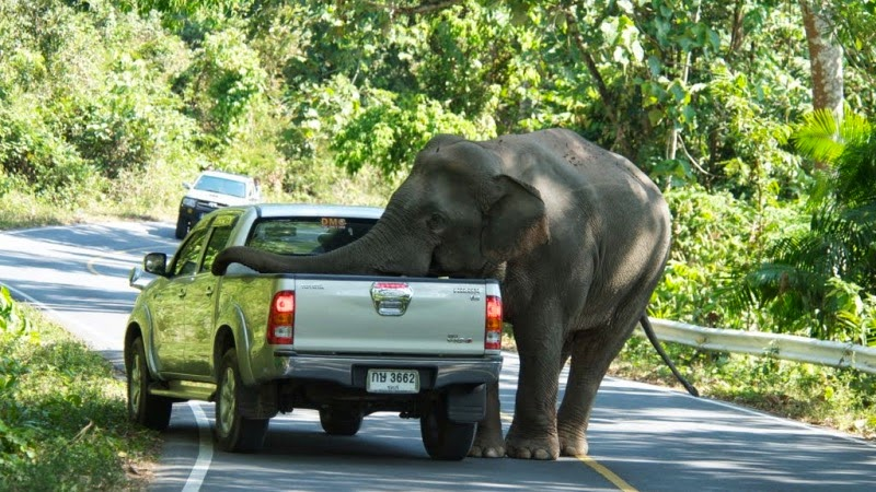 Elefant attackiert Pickup im Khao Yai Nationalpark