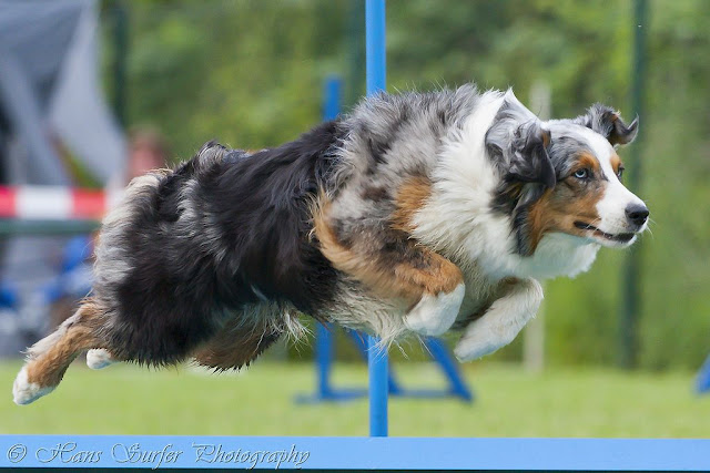Flying Australian Shepherd