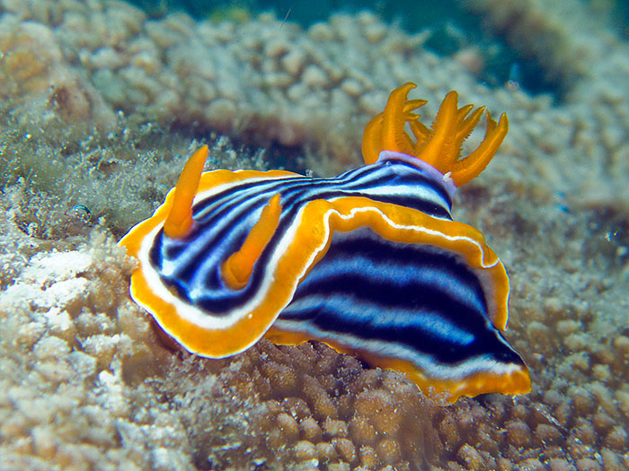 The blue sea slug