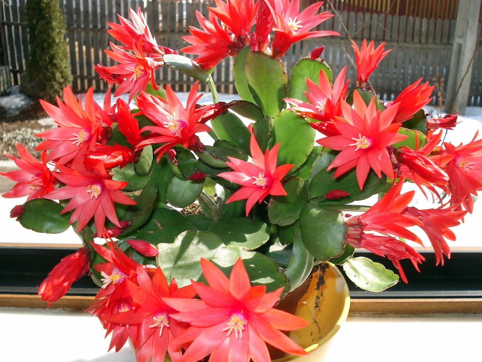 Craciunita cactus, cum se ingrijesti Craciunelul ca sa aiba cat mai multe flori