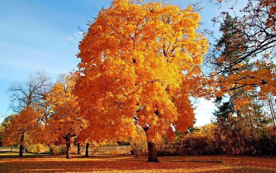 autumn-wallpaper-golden-tree-natural