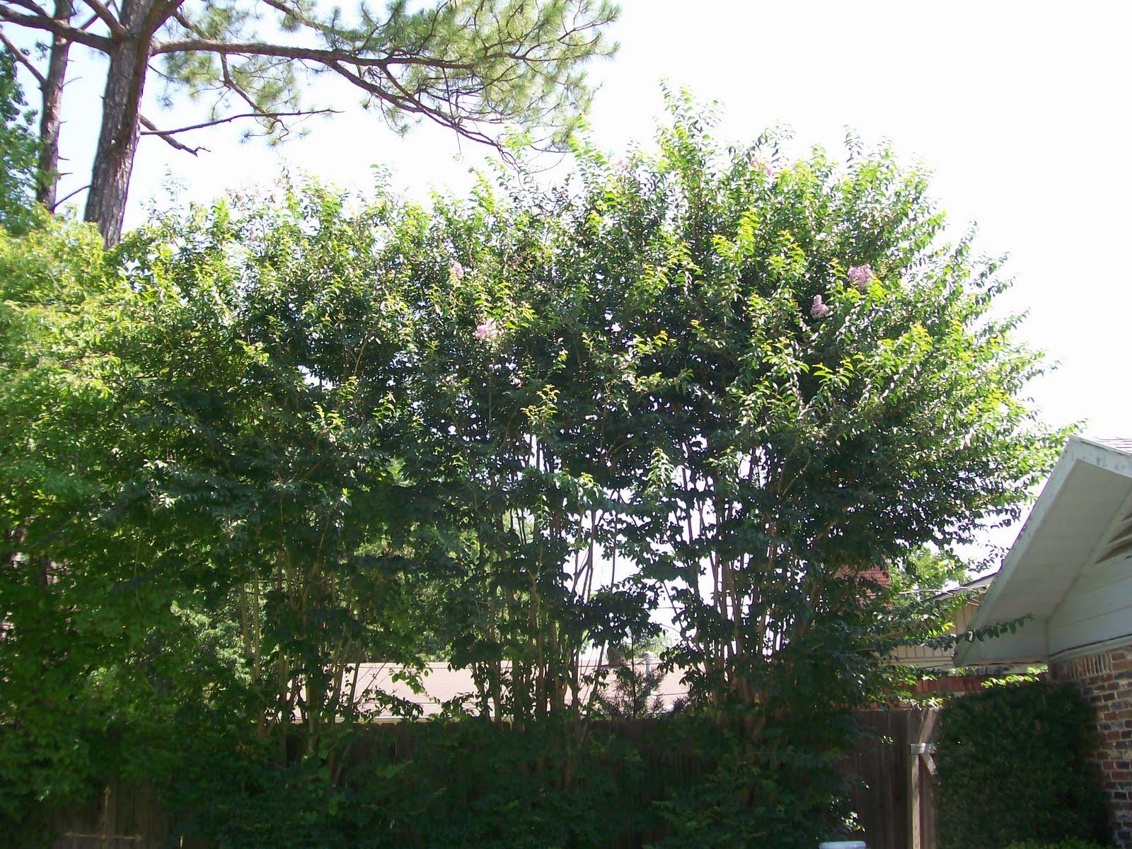 Rockhounding Around: Crepe Myrtle