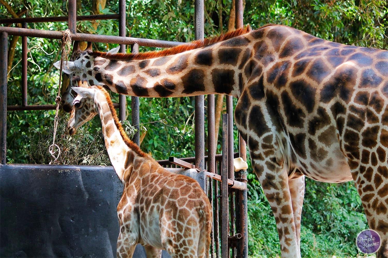 #giraffe #Giraffa camelopardalis
