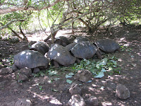Small Tortoises at La Galapaguera, San Cristobal, Galapagos