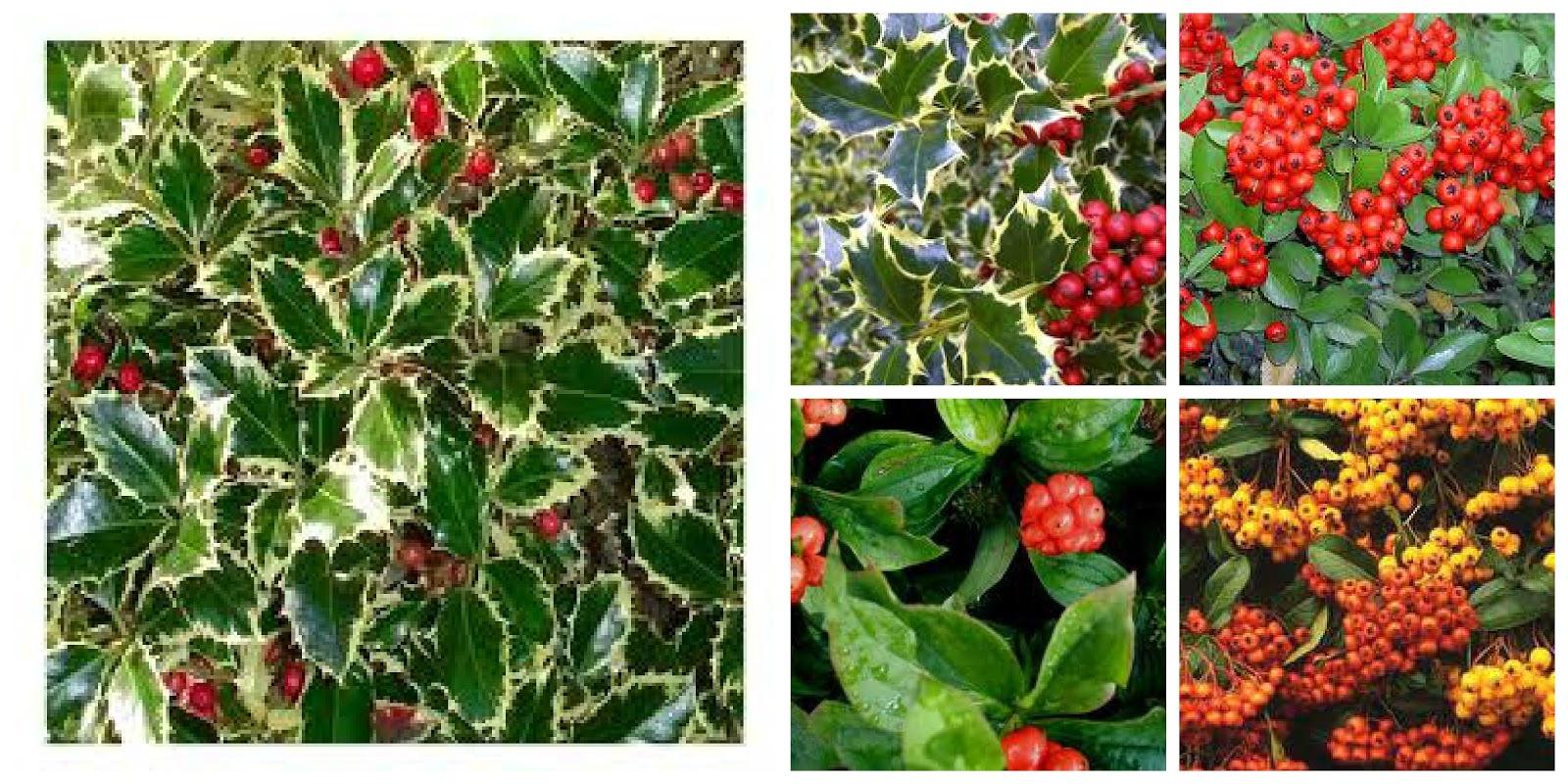 Tra orto e giardino bacche rosse in giardino una for Bacche rosse nomi