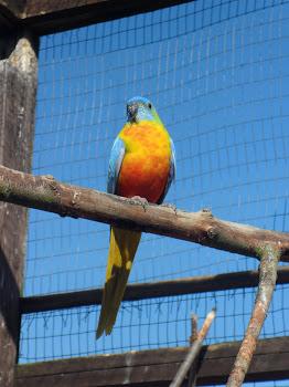 Yellow turquoisine grass parakeet