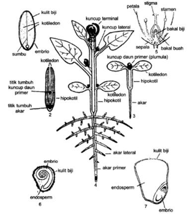 Not responding 234 tumbuhan dikotil pada tiga tahap perkembangan embrio taoge dewasa 5 bunga 6 biji tomat dan 7 biji jagung fahn 19892 ccuart Images