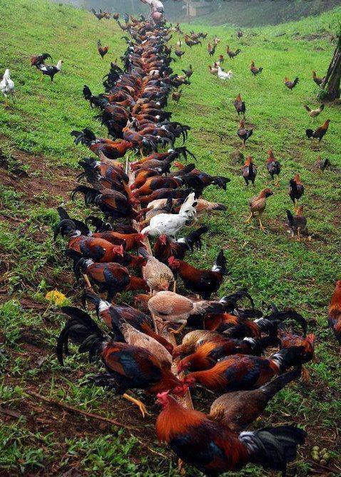 ternak ayam petarung