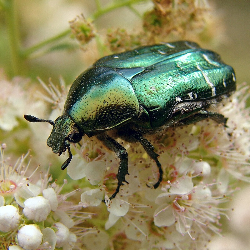 Grøn guldbasse - Cetonia aurata