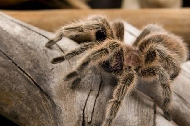 Tarantulas in England