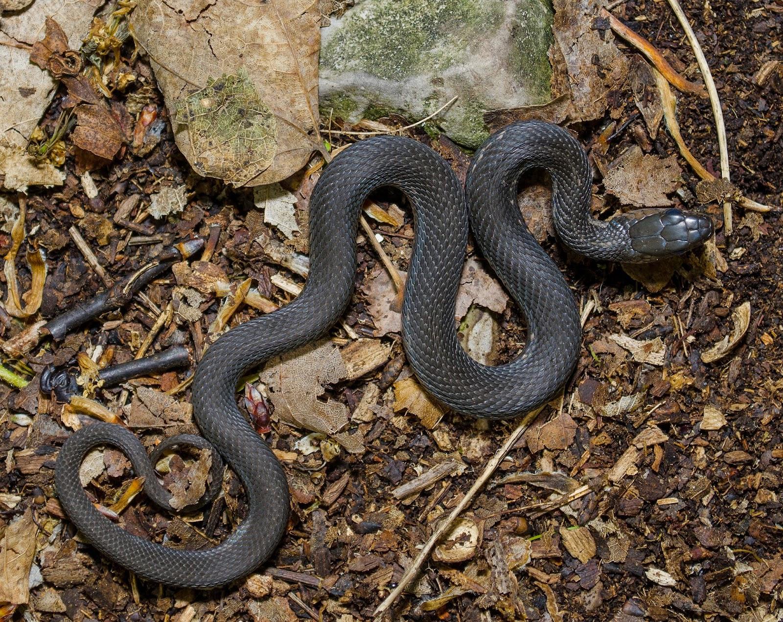 On the Subject of Nature: Melanistic Garter Snake