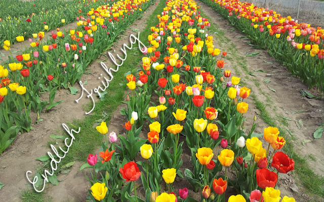 Pearl's Harbor Blog: Endlich Frühling Tulpenbeet