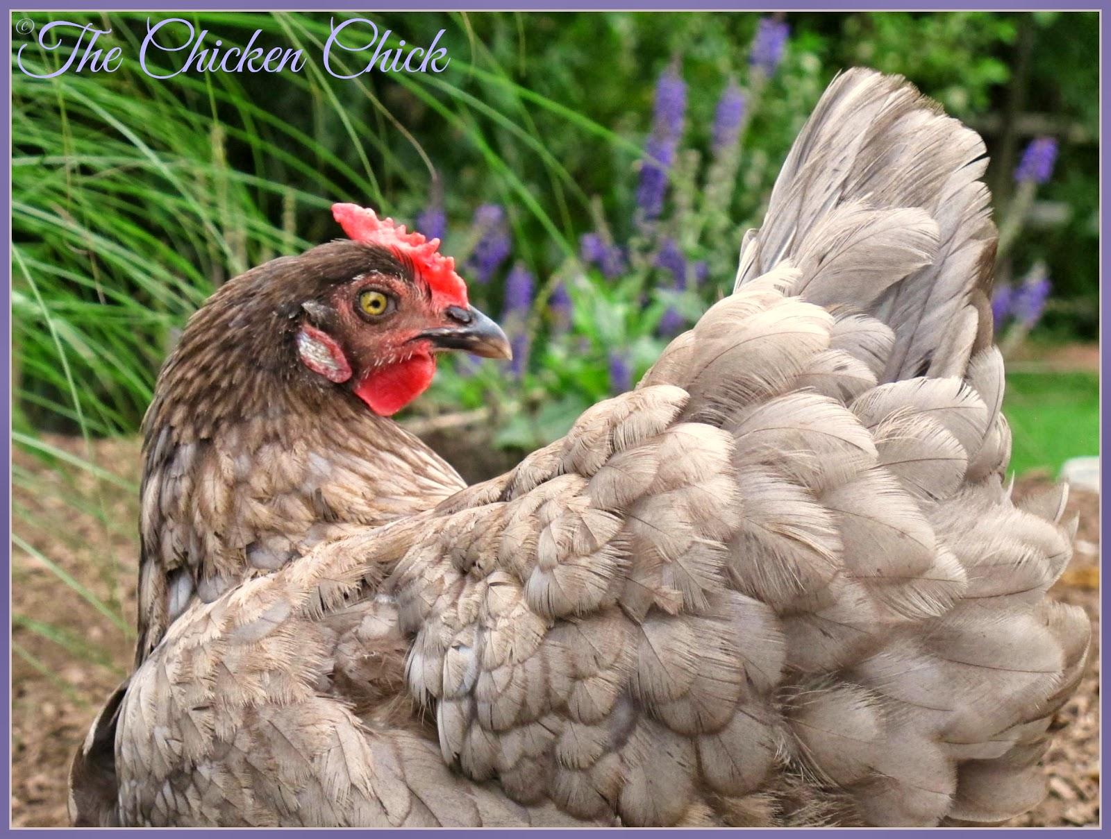 Iris (Olive Egger hen).