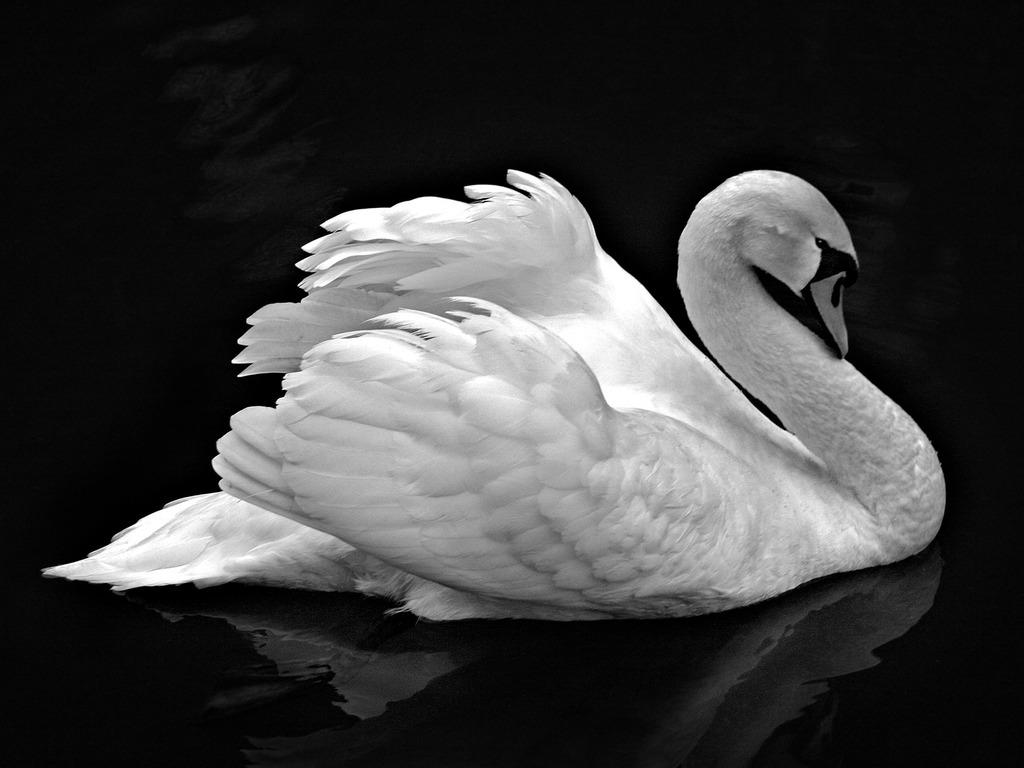 http://1.bp.blogspot.com/-utdu9SdlozU/UEdWd1zd6ZI/AAAAAAAAABc/aXF1ebGNjVY/s1600/Swan_on_Black_Water_HD_Wallpaper_my5ao.jpg