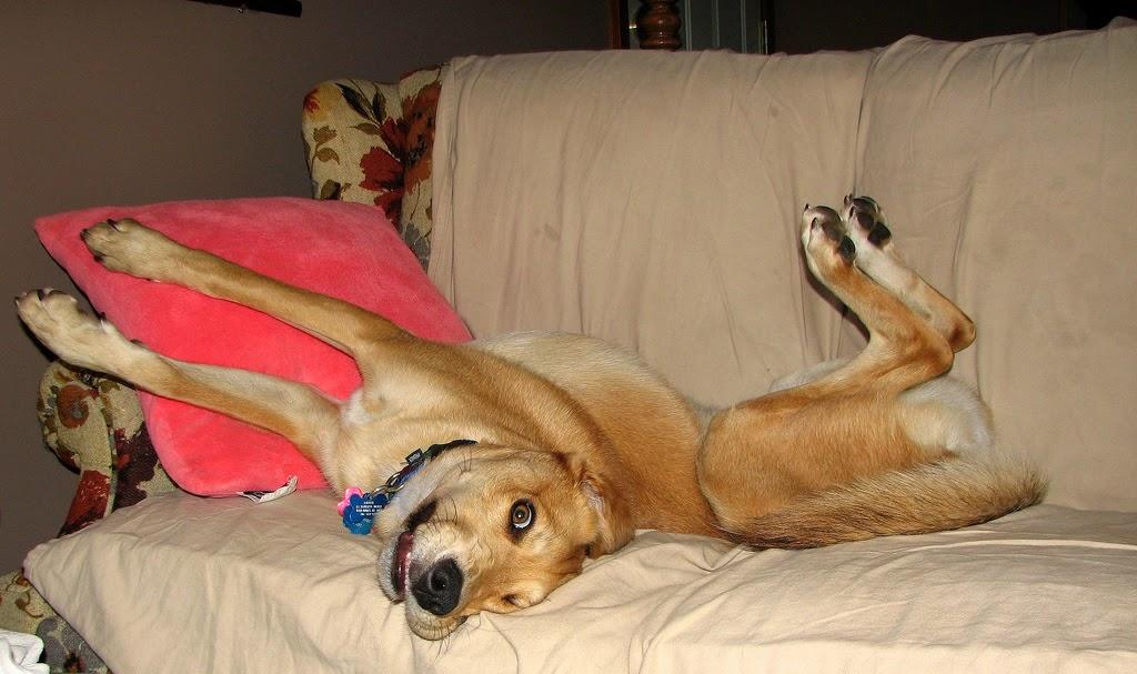 perro descansando en el sofa