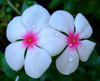 flowers for flower lovers.: Periwinkle flowers pictures.