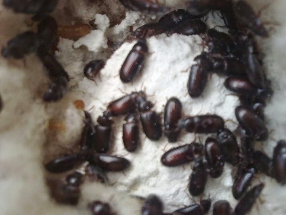Manfaat semut jepang bagi kesehatan