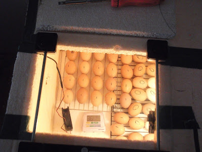 Eggs, Light, Incubator, Homemade