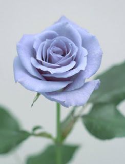 world first true natural blue Rose