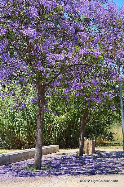 Flowering Purple Jacaranda tree